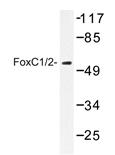 AP20435PU-N - FOXC1 / FKHL7 / FREAC3