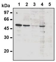 AM20282AF-N - Cyclin A2