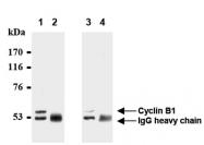 AM20284AF-N - Cyclin B1