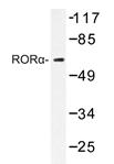 AP20414PU-N - ROR-alpha / RORA