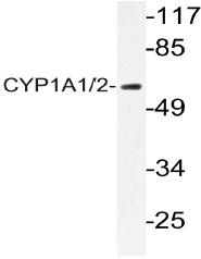 AP20396PU-N - CYP1A1