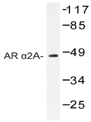 AP20407PU-N - Alpha-2A adrenergic receptor / ADRA2A