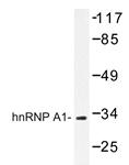AP20408PU-N - hnRNP core protein A1 / HNRNPA1