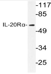 AP20596PU-N - IL20RA
