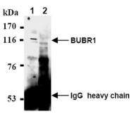 AM08440AF-N - BUB1B