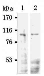 AM20290AF-N - POU2F1 / OCT1