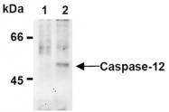 AM20297AF-N - Caspase-12