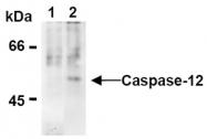 AM20298AF-N - Caspase-12