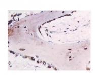 AP02133SU-N - SPARC / Osteonectin