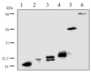 DP3514 - 6xHistidine Epitope Tag