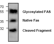 AP00027PU-N - CD95 / FAS