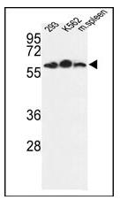 AP14717PU-N - Estrogen-related receptor gamma