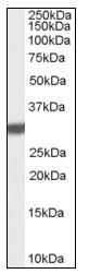 AP16653PU-N - Latexin