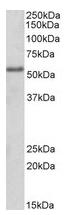 AP22375PU-N - FOXC1 / FKHL7 / FREAC3