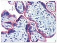 AM20388PU-N - Cyclin B1