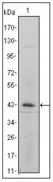 AM20393SU-N - CD49e / ITGA5