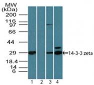 AP21526PU-N - 14-3-3 protein zeta/delta