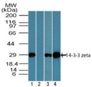 AP21527PU-N - 14-3-3 protein zeta/delta