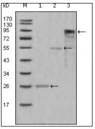 AM20446SU-N - Myeloperoxidase