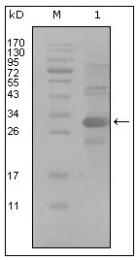 AM20451SU-N - CD166
