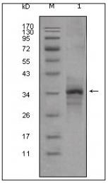 AM20481SU-N - Myostatin