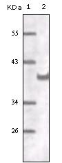 AM20527SU-N - CD31 / PECAM1