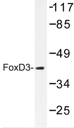 AP06761PU-N - FOXD3 / HFH2