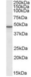 AP22588PU-N - TIP47 / M6PRBP1