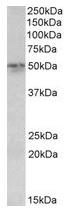 AP23235PU-N - Synaptotagmin-2