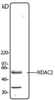AP23017PU-N - HDAC2