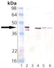 AP22890PU-N - DNAJB1 / HSP40
