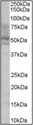 AP22495PU-N - HNF4 alpha / TCF14