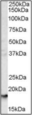 AP22500PU-N - CD235a / GYPA