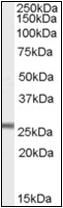 AP22523PU-N - Glutathione peroxidase 3 / GPX3