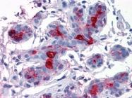 AM20542PU-N - CD227 / Mucin-1 / MUC1