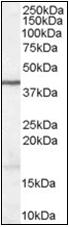 AP22539PU-N - WNT3