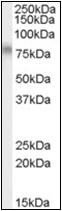 AP22543PU-N - TCF3 / E2A