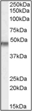 AP22545PU-N - KCNJ11