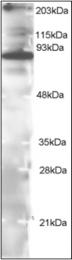 AP22564PU-N - IAP1 / BIRC3