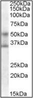 AP22568PU-N - FOXA1 / TCF3A