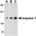 AP22860PU-N - Caspase-1