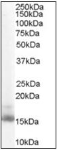 AP22572PU-N - Retinol-binding protein 1