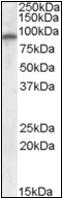 AP22578PU-N - Glutamate receptor 4 / GLUR4