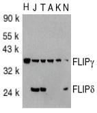 AP22849PU-N - CFLAR / Casper / I-FLICE