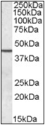 AP22579PU-N - Septin-2