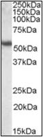 AP22580PU-N - Cytokeratin 13