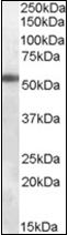 AP22584PU-N - GABAA Receptor alpha 6