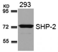 AP02797PU-S - PTPN11 / PTP2C