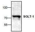 AP22846PU-N - SGLT1 / SLC5A1