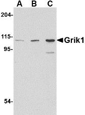 AP22600PU-N - Glutamate receptor 5 / GLUR5